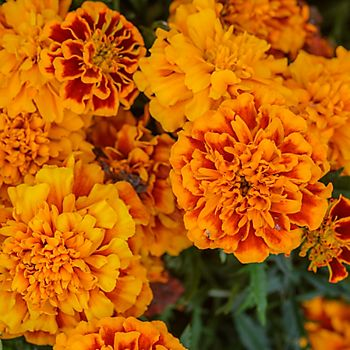 Marigolds - good for companion planting