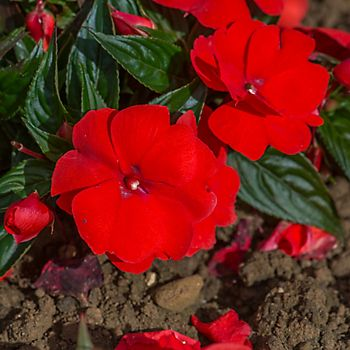 red New Guinea Impatiens