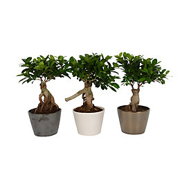 B&Q Ficus ginseng