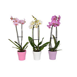 B&Q Twin stem orchid