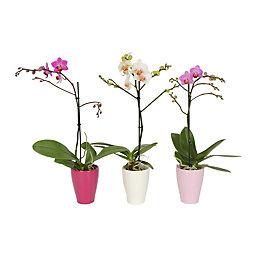 B&Q Moth orchid