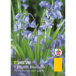 English bluebell Hyacinthoides non-scipta Bulbs