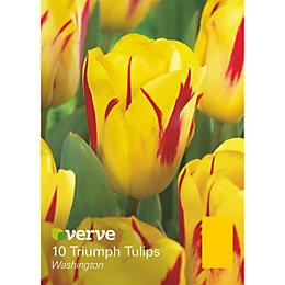Triumph tulip Washington Bulbs