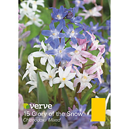 Glory of the snow Chionodoxa mixed Bulbs