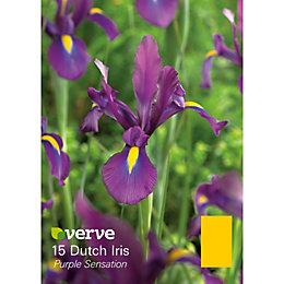 Dutch iris Purple sensation Bulbs