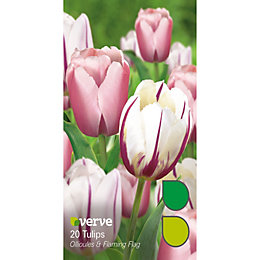 Tulip Ollioules & flaming flag Bulbs