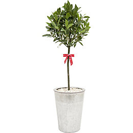 Bay tree in Metal container