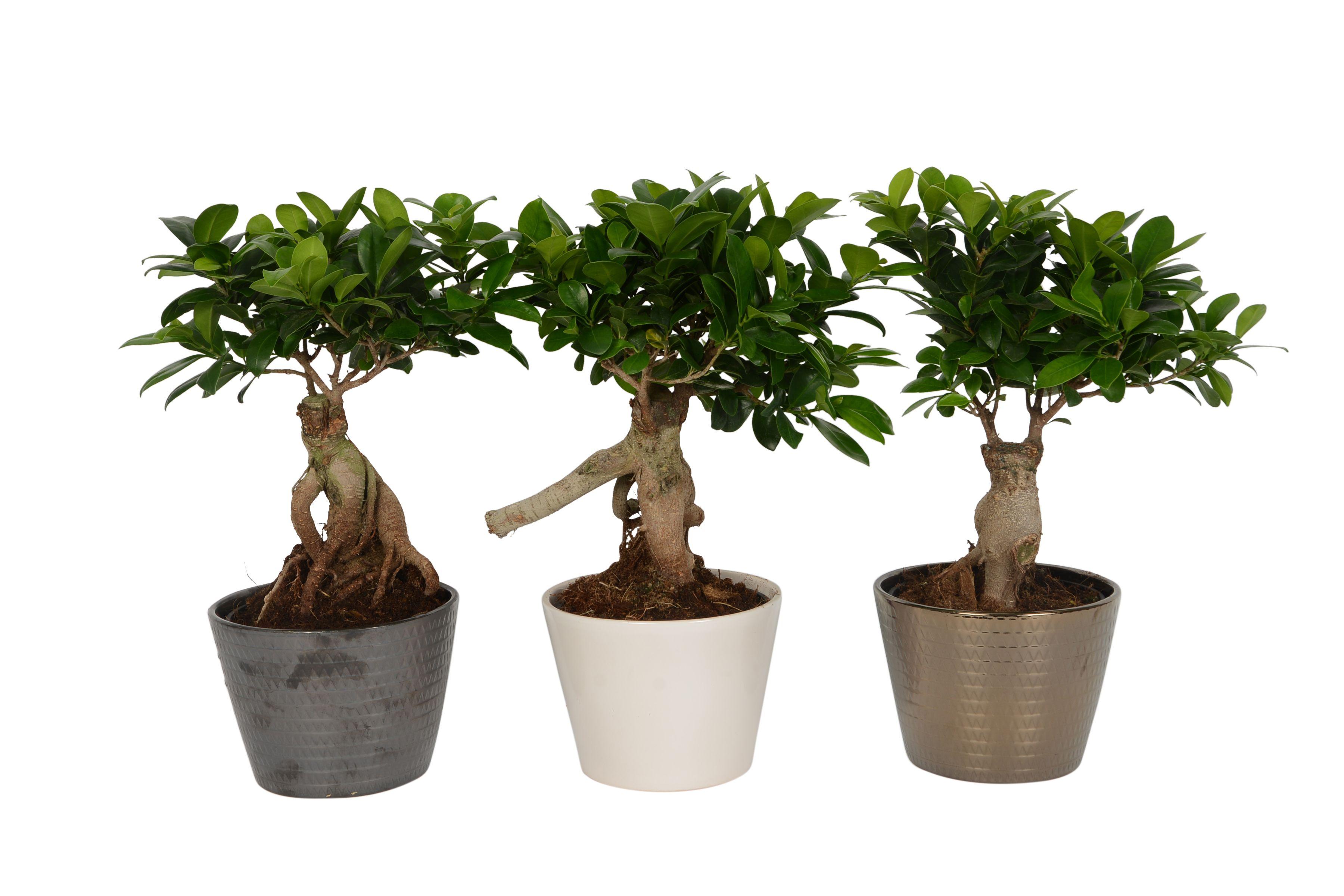 B&Q Ficus ginseng | Departments