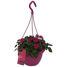 Verve Assorted Imara bizzie lizzie hanging basket 250