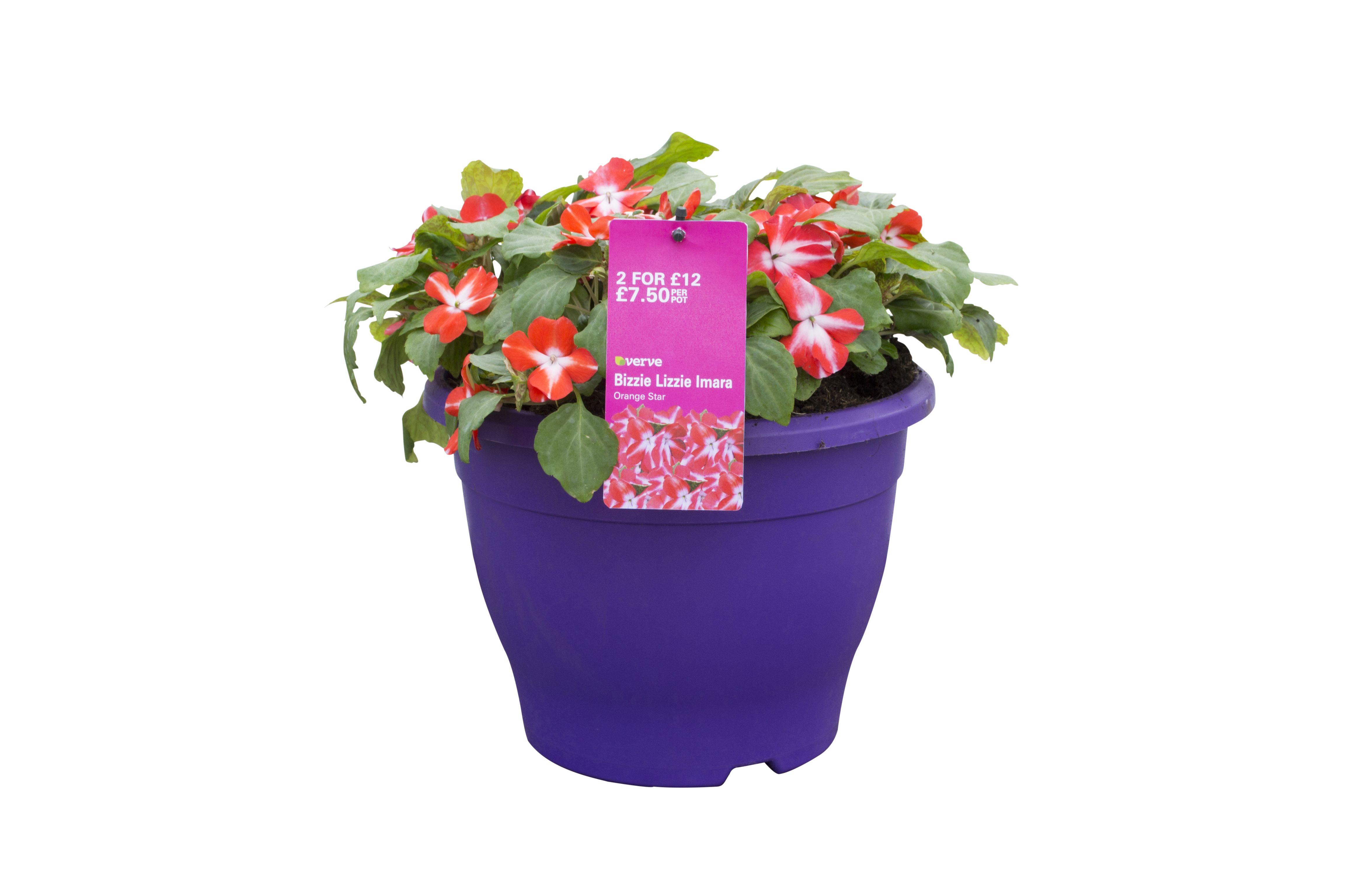 Verve Assorted Imara bizzie lizzie planted container in