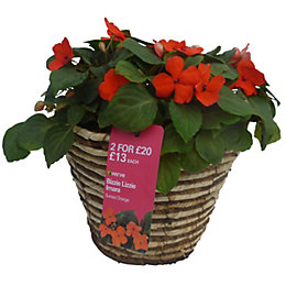 Verve Assorted Imara bizzie lizzie hanging basket in