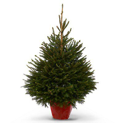 the latest c3392 3090f Norway spruce Pot grown Christmas tree | Departments | DIY at B&Q