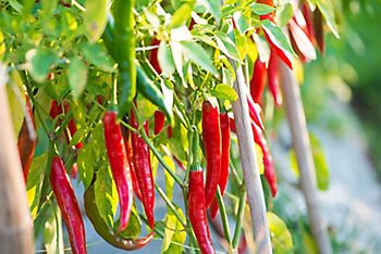 How to grow chilli peppers from seeds | Ideas & Advice | DIY