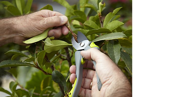"""Man pruning shrub with Verve Easy Grip Bypass Secateurs"""