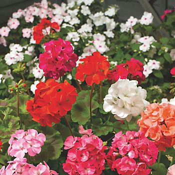Red, pink and white geraniums in garden flower bed