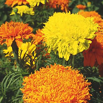 Marigolds growing in garden