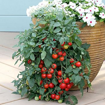 Tumbling bush tomatoes growing in patio pot