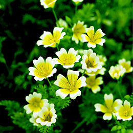 Suttons Poached egg plant Seeds