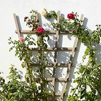 Timber fan trellis supporting climbing roses