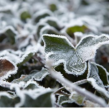 Garden plant covered in frost