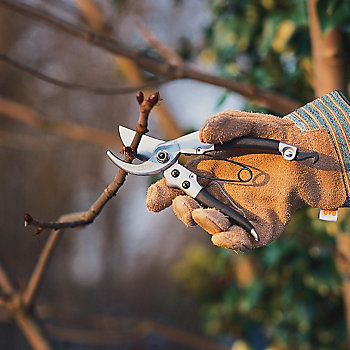 Pruning a tree with secateurs