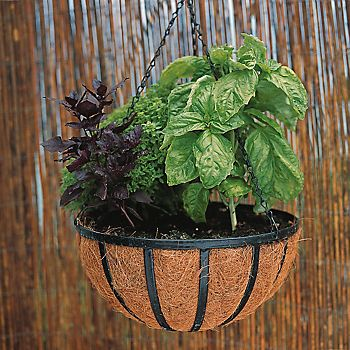 Varieties of basil in a hanging basket