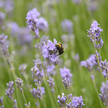 bee in amongst stems of lavender