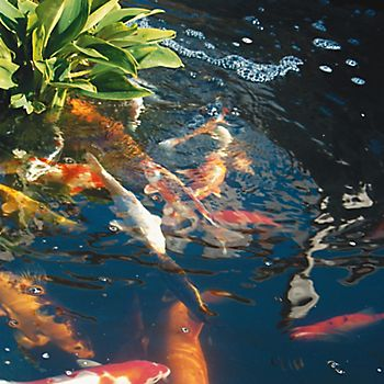 fish in garden pond