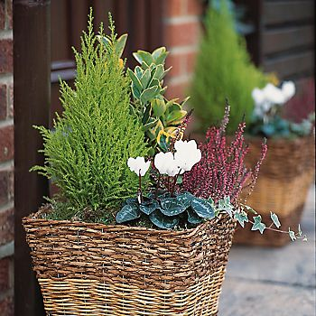 Cyclamen and evergreen foliage in a woven planter