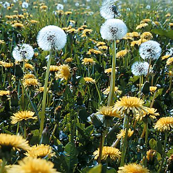 Dandelions and other weeds in a lawn