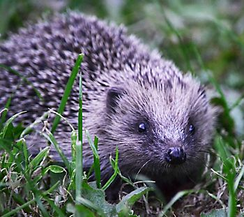 Hedgehog in grass credit Helen Pettitt