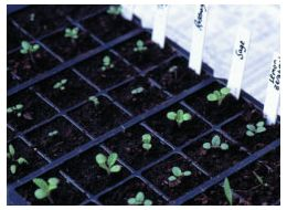 established herb seedlings