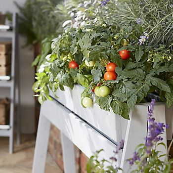 Tomatoes growing on a balcony