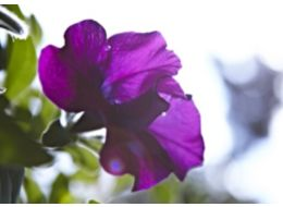 Purple petunia in need of deadheading