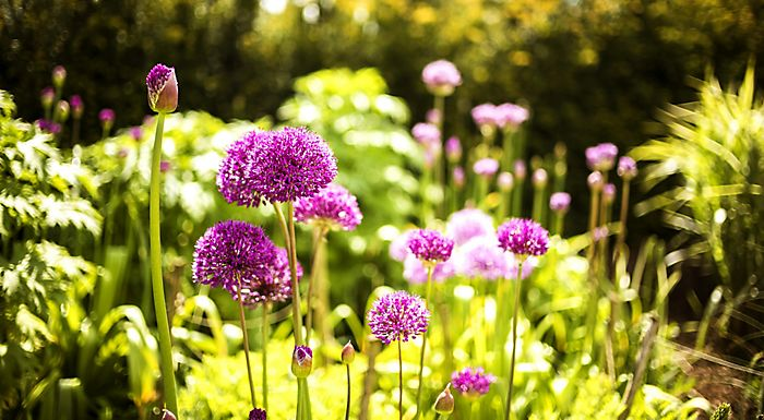 Alliums in summer garden
