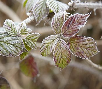Frosty leaved tree