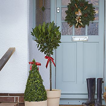 Christmas potted bay tree and potted buxus on festive doorstep