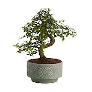 Japanese elm bonsai in 15cm Pot