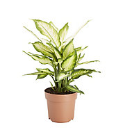 Leopard lily in 17cm Pot