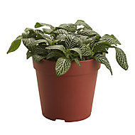 Mosaic plant in 12cm Pot