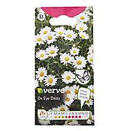 Ox eye Daisy Seed
