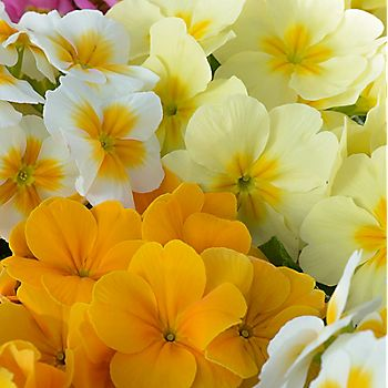 Yellow and cream primroses
