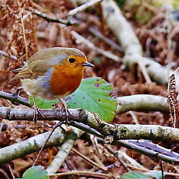 robin standing on a twig amongst leaves