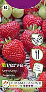 Strawberry Temptation Seed