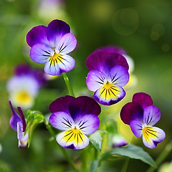 Purple and yellow winter-flowering pansies