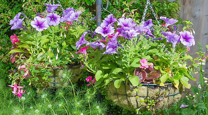 """summer bedding plants in hanging basket"""