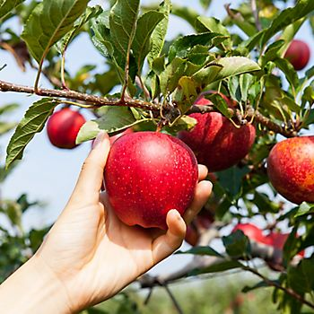 Picking ripe red apple from tree