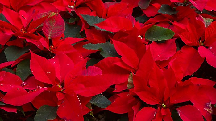 """collection of red poinsettias"""