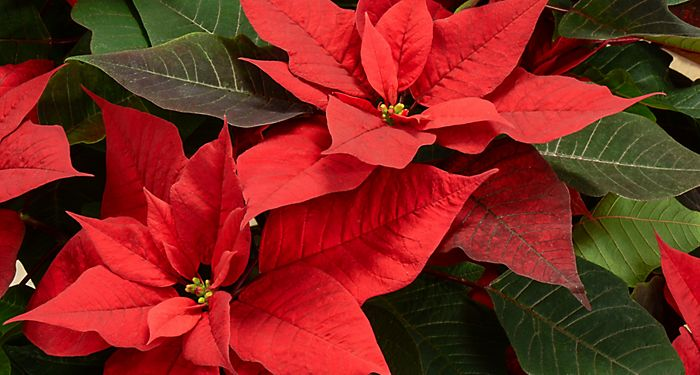 """Two red poinsettias"""