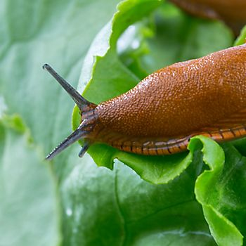 Slug on lettuce